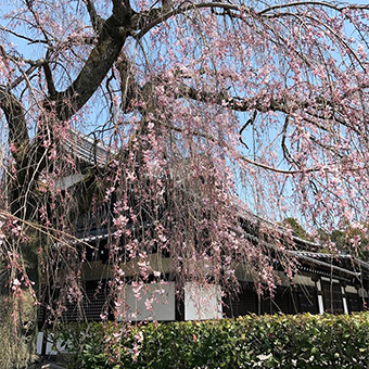 From home of Kyoto Japanese Spring Season ~Sakura~